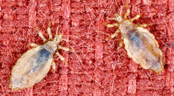 Как избавиться от бельевых вшей в домашних условиях, эффективные средства, как выглядят укусы