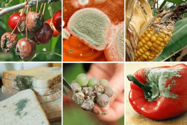 Если съесть хлеб с плесенью опасно или нет- последствия, как реагирует организм на употребление плесени