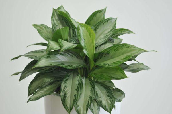 Выращиваем цветок аглаонема в домашних условиях