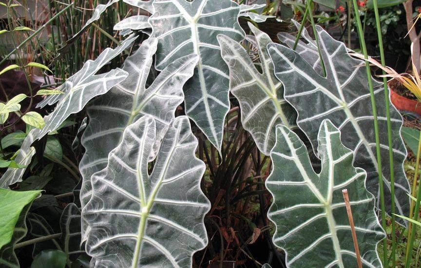 Как выращивать и ухаживать за Алоказией