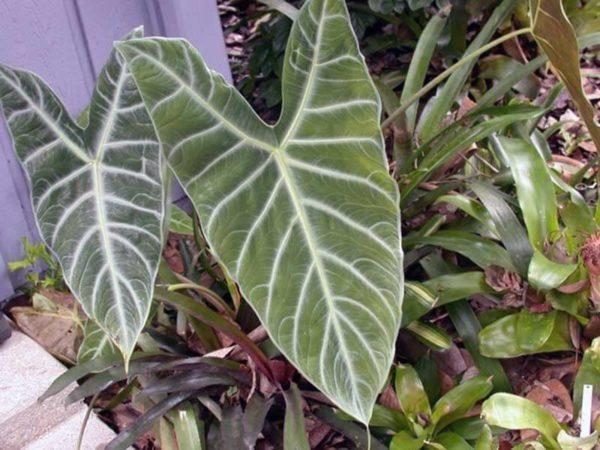 Алоказия: как ухаживать за цветком в домашних условиях