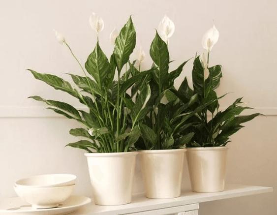 Как правильно выращивать Спатифиллум