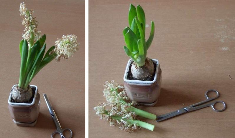 Гиацинт в горшке — уход за весенним цветком в домашних условиях
