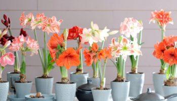 Как выращивать гиппеаструм в домашних условиях