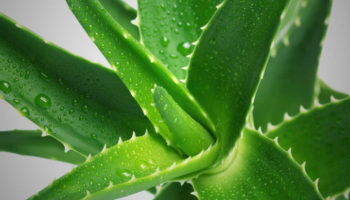 Как выращивать и ухаживать за алоэ