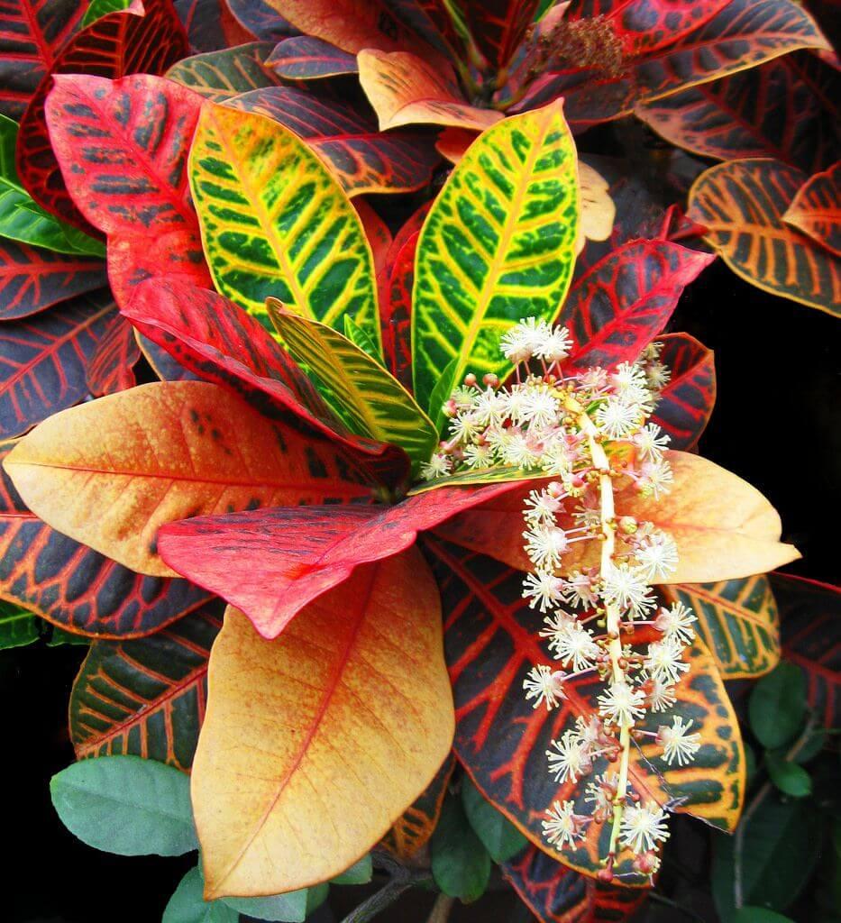 Размножение кротона листьями, черенками и семенами